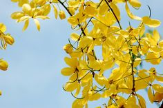 Countries of the world and their national Países del mundo y sus flores nacionales National Flower of Thailand Ratchaphruek (Cassia fistula) - Thailand National Flower, Benefits Of Eating Bananas, Banana Flower, Flower Festival, Deciduous Trees, Flowering Trees, Shades Of Yellow, 50 Shades, Blossom Flower