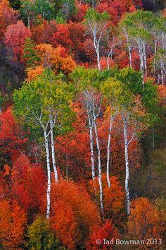 Aspen tree, Maple, scrub oak, Idaho; photo by Tad Bowman