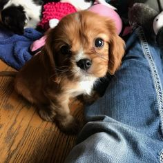 king cavaliers so sweet and cute  awesome small breed dog