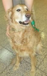 #OHIO ~ This is Reagan approx 8-9 yrs old & an #adoptable #GoldenRetriever #dog. He was left tied up outside of a shelter. He is crate & potty trained and rides well in a car. Reagan is a loving, affectionate boy looking for a forever home and is at G.R.I.N. in Ohio.