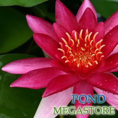 ESCARBOUCLE (or Aflame) Water Lily (Medium-Large) Nymphaea