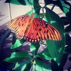 Butterfly plant brings beauty