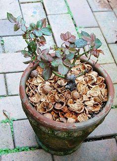 Walnut shell mulching. くるカラ in 雨もまた良し、くるカラちゃん♪ - ようこそブルーガーデンへ Walnut Shell, Compost, Gardening, Plants, Lawn And Garden, Plant, Composters, Planets, Horticulture