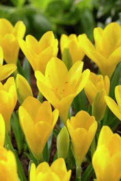 Goldkrokus • Sternbergia lutea • Herbst-Goldbecher • Gewitterkrokus • Pflanzen & Blumen • 99Roots.com