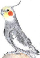 cockatiel drawing