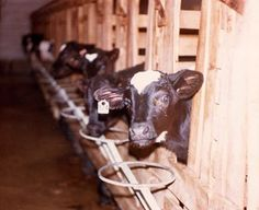 Sad Truth: British Veal Calves In Small Crates And Poor Diet