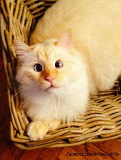Ugliest pretty cat (he's Romanian) - Motanul Lentila (Lentila the Cat)