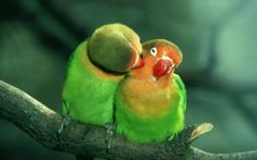 """""""Now, honey, you know what mama said about PDA"""".......love birds - Bing Images"""