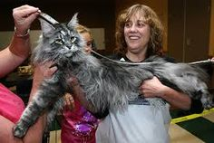 Image result for ontario maine coon