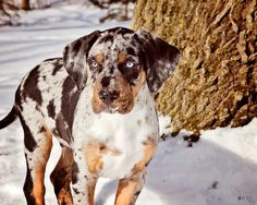 The Catahoula Leopard dog hails from Louisiana and is known for hunting. Beautiful markings, don't you agree?