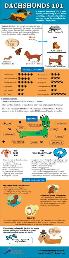 "Think a Dachshund is the perfect dog for you? This Dachshunds 101 infographic can help you decide! And, if you do decide a Dachshund is the perfect pet for your family, make sure to get them their very own dogstairs so they can reach you on the couch or bed (they call them ""low riders"" for a reason)!"