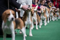 Beagles line up in the competition ring during the Westminster Kennel Club dog show, Monday, Feb. 10, 2014, in New York. (AP Photo/John Minc...