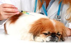 Védőoltás a kutyák: a szabályok és feltételek