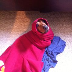 My wiener dog in a sweatshirt sleeve #dachshund #doxie