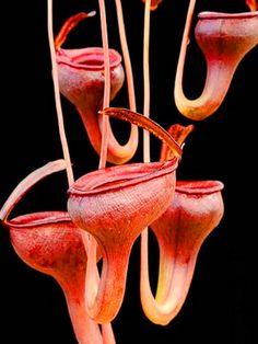 Tropical Pitcher Plant,weird but cool Weird Plants, Unusual Plants, Rare Plants, Exotic Plants, Cool Plants, Tropical Plants, Tropical Flowers, Tropical Garden, Cactus Plants
