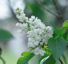 Common White Lilac