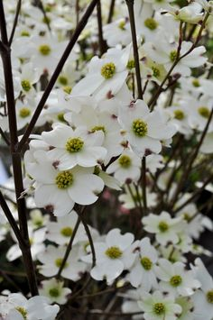 Flowering dogwoods are deciduous trees that can add yearround beauty to the landscape. Take a look at how to grow dogwood trees in the article that follows and you, too, can enjoy their charming attributes.