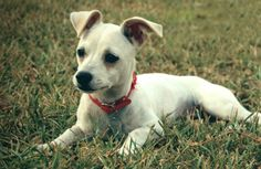 San Antonio, TX - Marceline 2014 BreedChihuahua Blend GenderSpayed Female Age4/11/2014 WeightWill be small to medium Good With DogsYes Good With ChildrenYes Good With CatsUnknown MicrochippedYes Vaccinations Up To DateYes