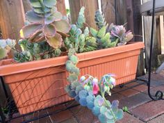 Variegated Lavender Scallops (kalanchoe fedtschenkoi variegata): This is a plant fondly (and oddly!) known as Lavender Scallops. It is a low, shrubby, spreading succulent from Madagascar. Grows as an annual or houseplant in cooler climates. Treat as you would with most succulents and allow for good drainage and water thoroughly when you do, but do not water again until the soil is fairly dry. Does best in full sun to light shade, and protect from frost. Wow! I'm sure it's not that unusual…