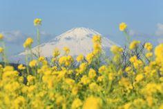 Mt.Fuji with rape blossoms.