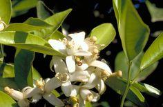 Petigrain sur Fleurs, Organic 5 ml
