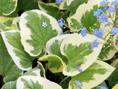 Brunnera Variegata - Deer proof shade plant with variegated leaves. Shade ground cover thrives with Hostas, Hardy Ferns, & Heucheras.