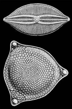 Kunstformen der Natur, Ernst Haeckel Ernst Haeckel, Crystal Shapes, Science Art, Crystals, Drawings, Nature, Cactus, Illustrations, History