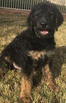 Litter Of 9 Airedoodle Puppies For Sale In Saint George Ut Adn 63530 On Puppyfinder Com Gender Male Age 8 Weeks Old Puppies For Sale Puppies Puppy Care