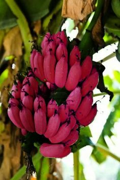 Red Dacca Bananas (Musa acuminata). They are smaller and plumper than the common Cavendish banana. When ripe, raw red bananas have a flesh that is cream to light pink in color. - via Claudia Pereira's photo on Google+ - em:  plus.google.com
