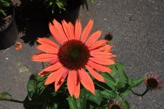 "Echinacea x 'Sundown' :  Deer resistant Zone: 4-8  Height: 29""-35""  Light: Full sun to partial shade"