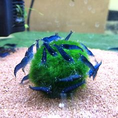 Blue Tiger Shrimp cleaning a Marimo moss ball