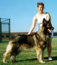 Tina Barber - Shiloh Shepherd Article the founder herself with one of her beauties Shiloh Shepherd, Shepherd Puppies, German Shepherd Breeds, German Shepherds, All Dogs, Best Dogs, Cute Puppies, Cute Dogs, Pallet Dog House