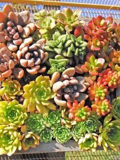 Sukkulenten Arten Und Klima Verhältnisse | Balkon | Pinterest ... Sukkulenten Arten Namen Arrangement