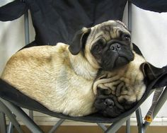 What? A two-headed pug...