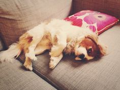 Lazing on a Sunday afternoon.  Cavalier King Charles Spaniel