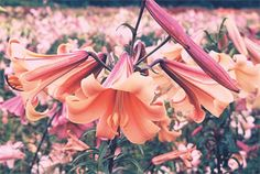 Trumpet & Aurelian lilies - The Lily Garden 'Copper Crown' () has long, bronze-colored buds and beautiful cantaloupe-colored fragrant flowers. Walk by them in the garden at any time of day and delight your senses! 4 to 5 feet, July.