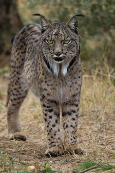 10 Short Tail Cat Breeds Around The World - Katzen (und andere Tiere) - Cats Short Tail Cat, Beautiful Cats, Animals Beautiful, Pretty Cats, Beautiful Words, Big Cats, Cool Cats, Iberian Lynx, Eurasian Lynx