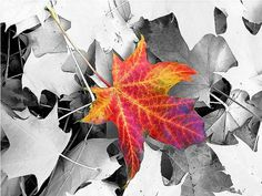 42 ideas black and white nature photography color splash autumn leaves for 2019 photography nature 611645193127094447 Splash Photography, Color Photography, Black And White Photography, Nature Photography, Color Splash, Color Pop, Nature Paintings, Black And White Pictures, White Art
