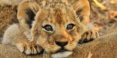 #Dare2Dream - Where will you Zoom from today? Lion Facts, Cutest Animals On Earth, Baby Animals, Cute Animals, Lions Photos, Kruger National Park, Stuffed Animals, Beautiful Creatures, Baby Names