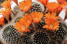 Flame Crown Cactus - Rebutia Flavistyla Photographie / Photograph C.Stefan (ArtStudio29) #cactus #flower #orange #rebutia #favistyla #flame #crown #flora #floral #photograph #closeup #close-up #bloom #prints #reproductions #decor #interiordesign