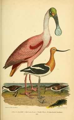 v. 2 - American ornithology; or, The natural history of the birds of the United States, - Biodiversity Heritage Library