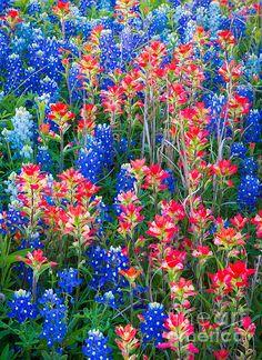 Beautiful field of Texas Bluebonnets & Indian Paintbrush wildflowers! Wild Flowers, Beautiful Flowers, Beautiful Pictures, Biennial Plants, Indian Paintbrush, Texas Bluebonnets, All Nature, Blue Bonnets, Parcs