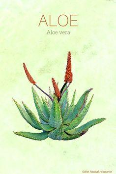 Aloe Vera                                                                                                                                                                                 More