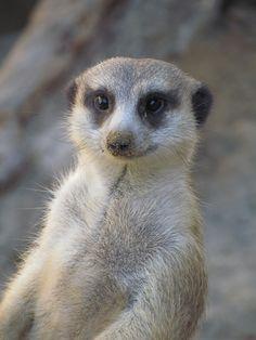 staring meerkat