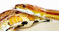 About the corn snake