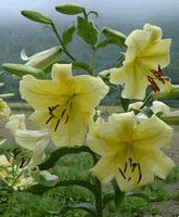 'Lesotho'  - Orienpet Hybrid Lily Bulb 4-5 ft Late July / Early Aug