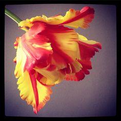#tulipe