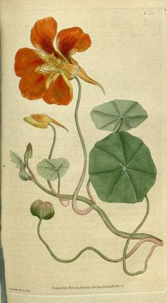 """Antique Copper Plate Engraving published 1787-1800 by W.Curtis, London for """"The Botanical Magazine; or Flower-Garden Displayed"""" (1st Series) by William Curtis. Good paper, reverse side blank. Fine Hand Colour at time of publication. With accompanying descriptive text sheet. Odd small background stain.  Paper size: 9 x 5.5 inch (23 x 14cm)"""