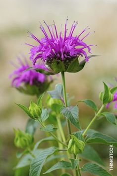Wild Bergamot | Explore grasslands brimming with fall wildflowers and gather ideas for your own yard. | #Gardening | OhioMagazine.com