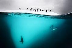 Underwater Antartic Penguins